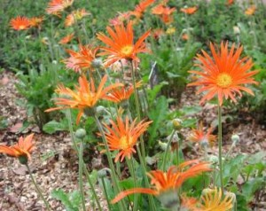Gerbera Jamesonii