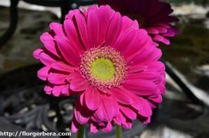 flor gerbera fucia